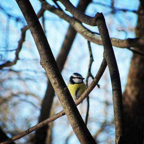 Пушистик синица парк Природа Москва птицы поют Синичка Nature Bird Tomtit
