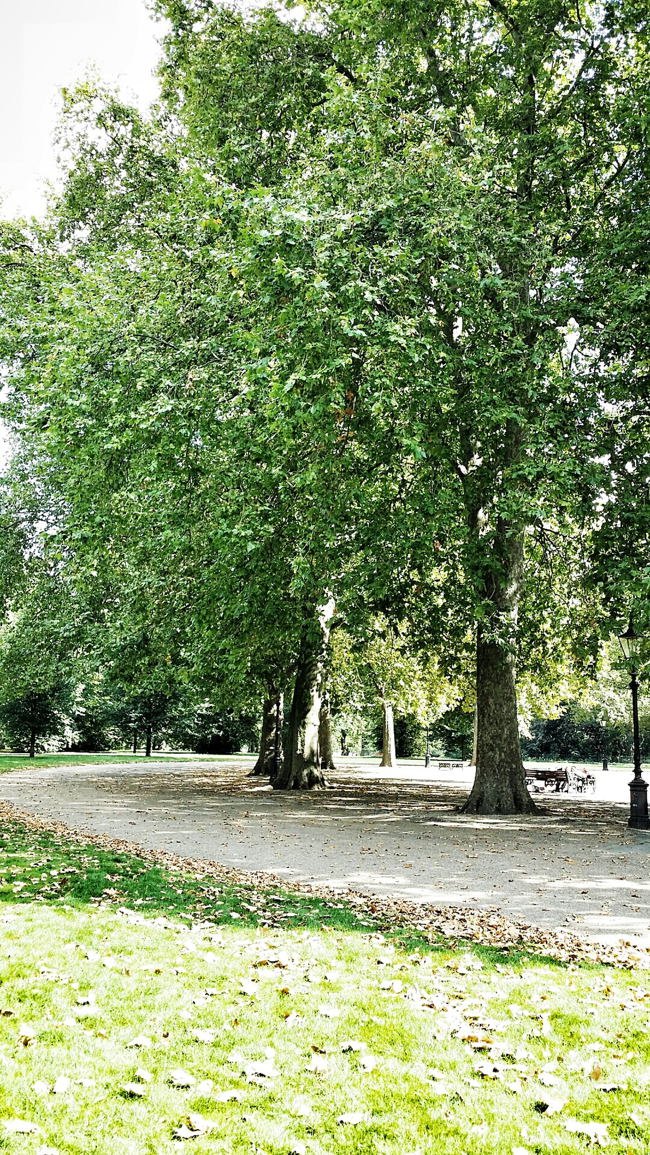 tree, growth, green color, park - man made space, grass, branch, tranquility, nature, tree trunk, park, beauty in nature, tranquil scene, sunlight, lush foliage, footpath, day, green, scenics, bench, outdoors