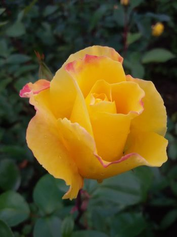 Good Morning a Beautifulrose for my ee friends Yellowrose from Rose Garden Rose🌹 Roses Rose - Flower Flower Flowers Flower Collection Nature_collection Secret Garden From My Point Of View Something Beautiful Taking Photos EyeEm Gallery Eye4photography  Check This Out Hello World EyeEm Best Shots EyeEmBestPics Nice View Nature Photography Naturelovers Nature