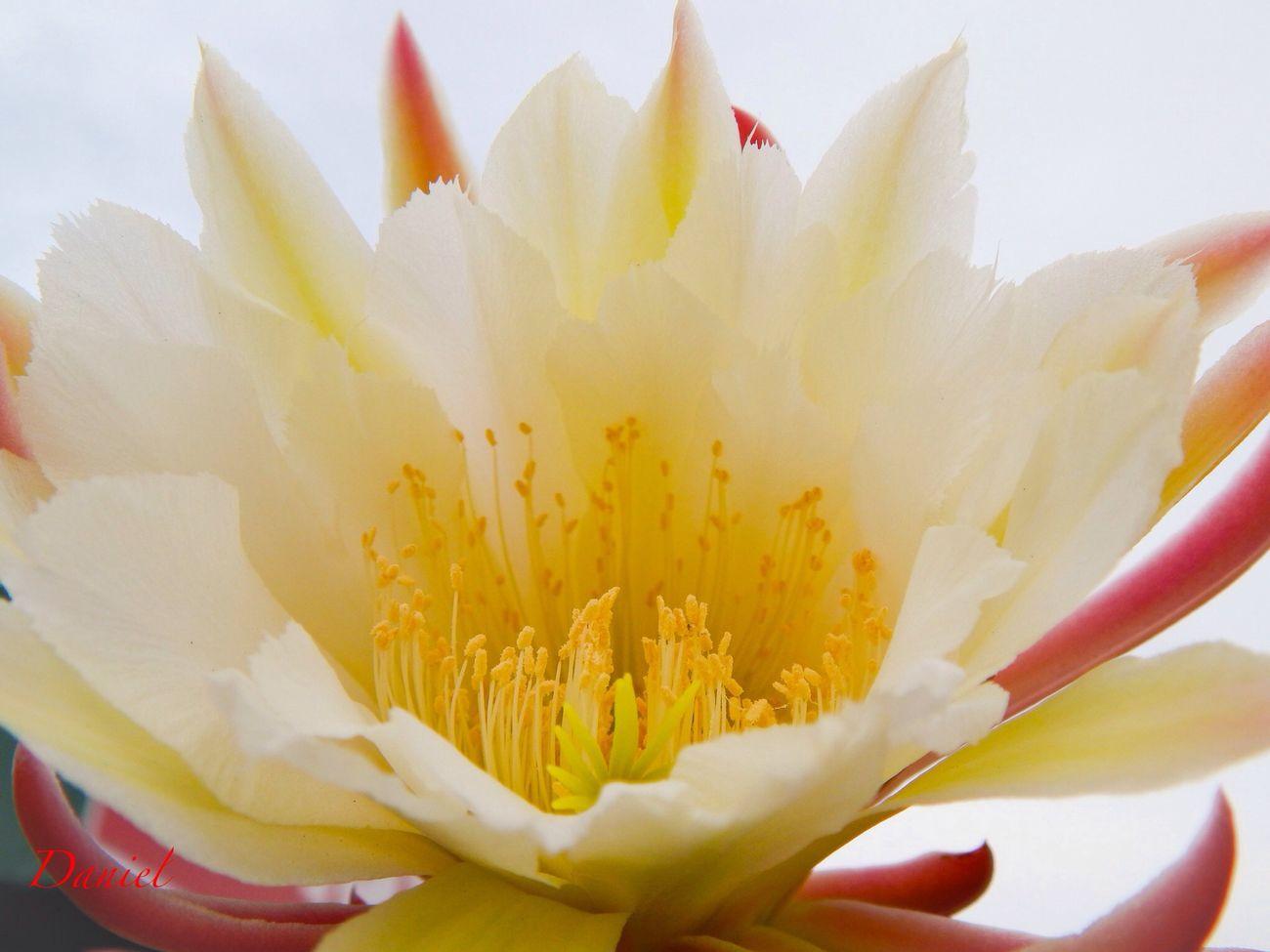 Macro_flower Desertrose Macro Photography StreamzooVille