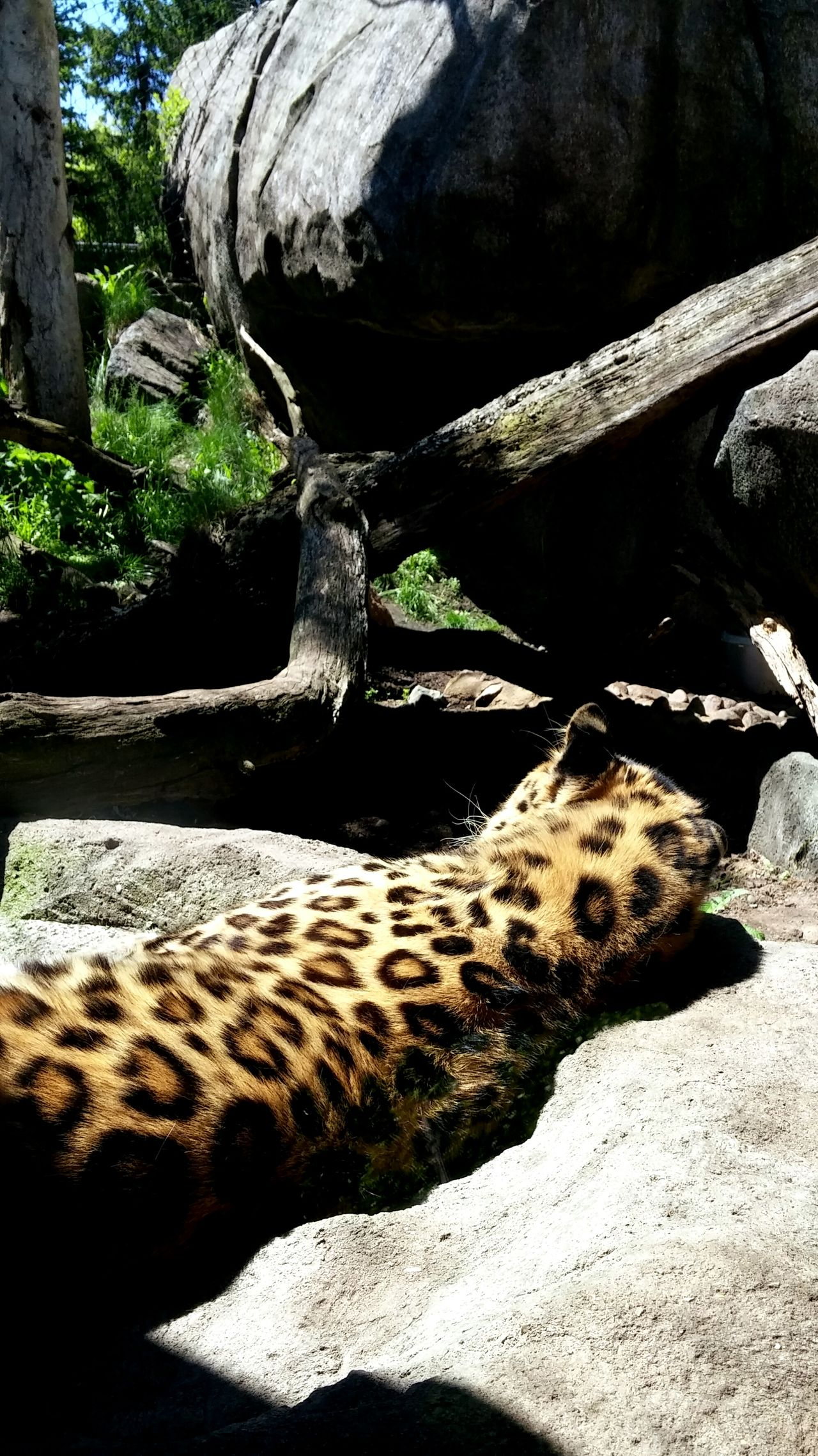 A beautiful day at the Zoo! MnZoo Zoophotography Zoo Animals  Leopard