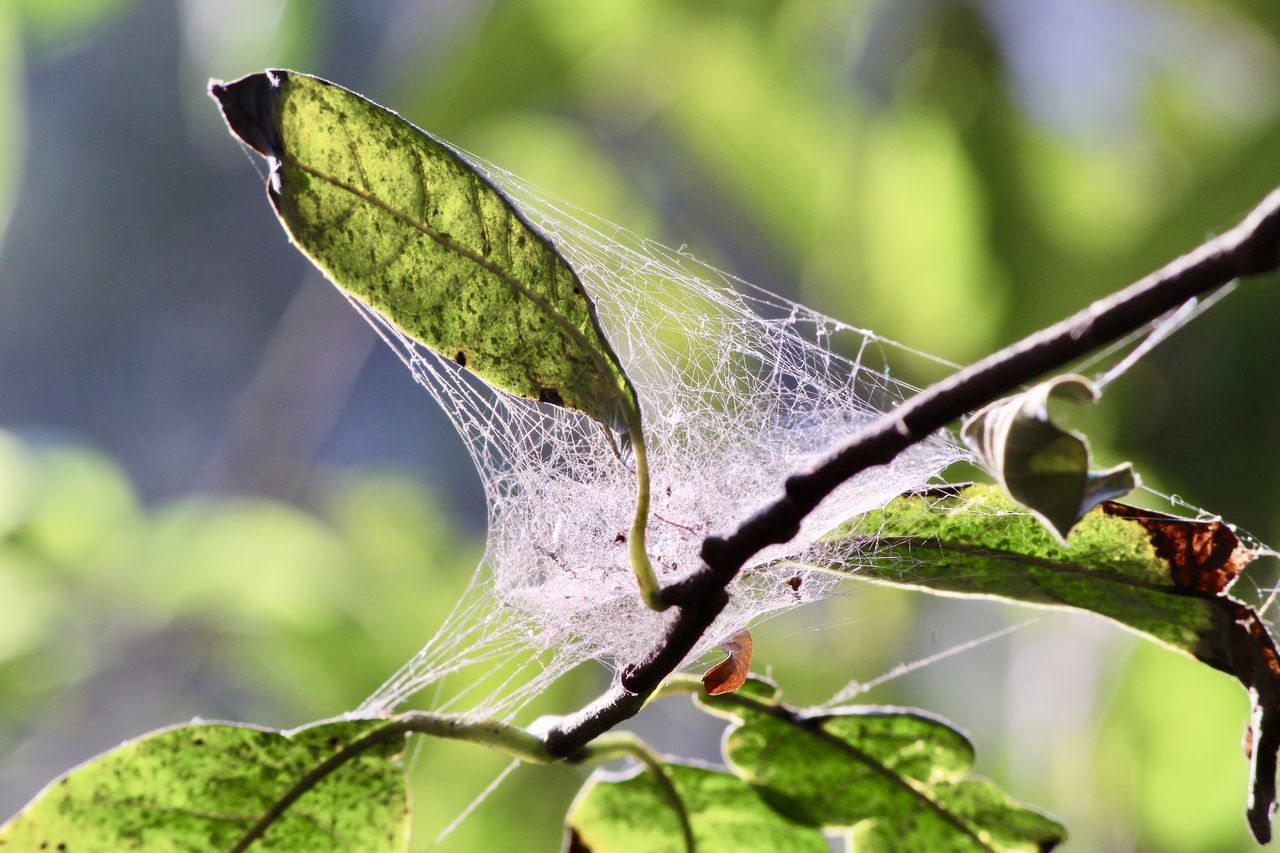 nature, focus on foreground, one animal, close-up, leaf, green color, day, no people, animal themes, insect, outdoors, growth, plant, spider web, beauty in nature, animals in the wild, fragility, freshness
