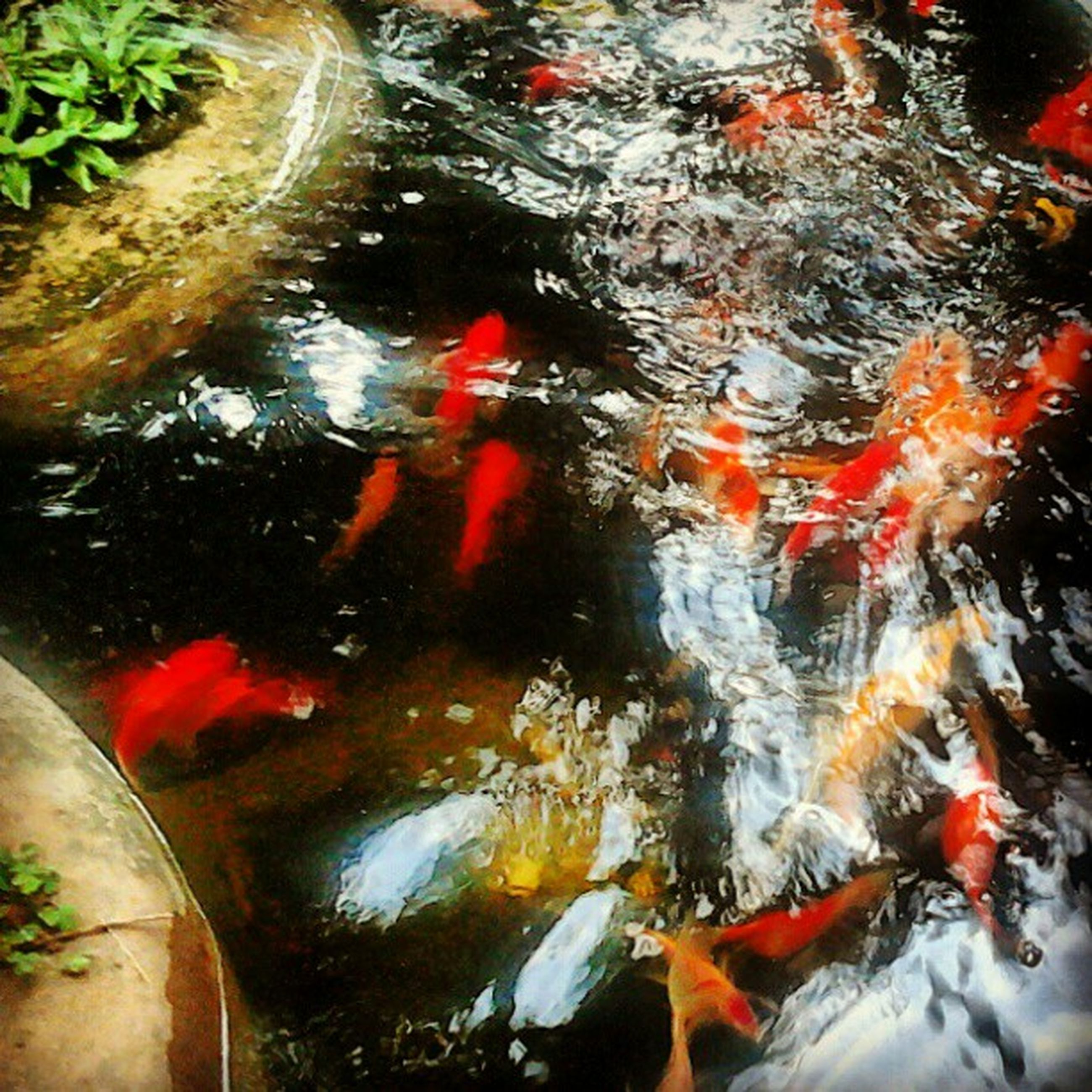 water, reflection, high angle view, pond, red, transparent, transportation, koi carp, wet, puddle, nature, fish, mode of transport, outdoors, lake, school of fish, street, day, swimming, orange color