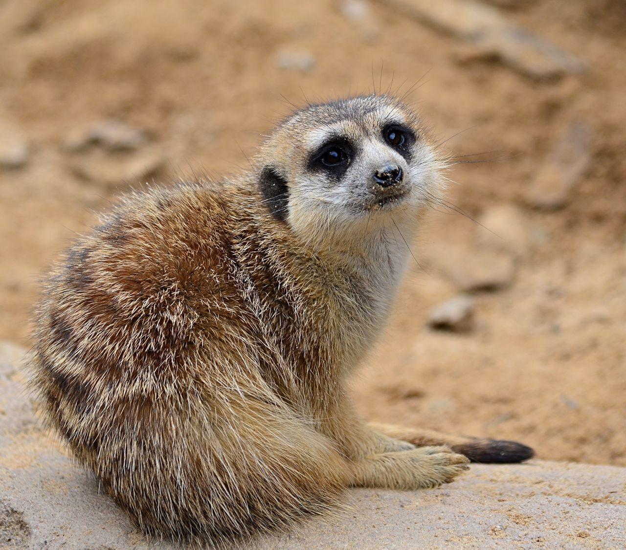 Meerkat sitting Animal Themes Close-up Day Mammal Meerkat Nature No People One Animal Outdoors Pjpink