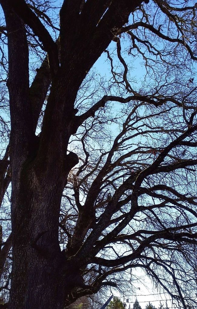 Oak Trees Oak Oak Trees Park Bare Trees Bare Branches Tree Trunk Wood Tree_collection  Treetastic Trees And Nature Northern California
