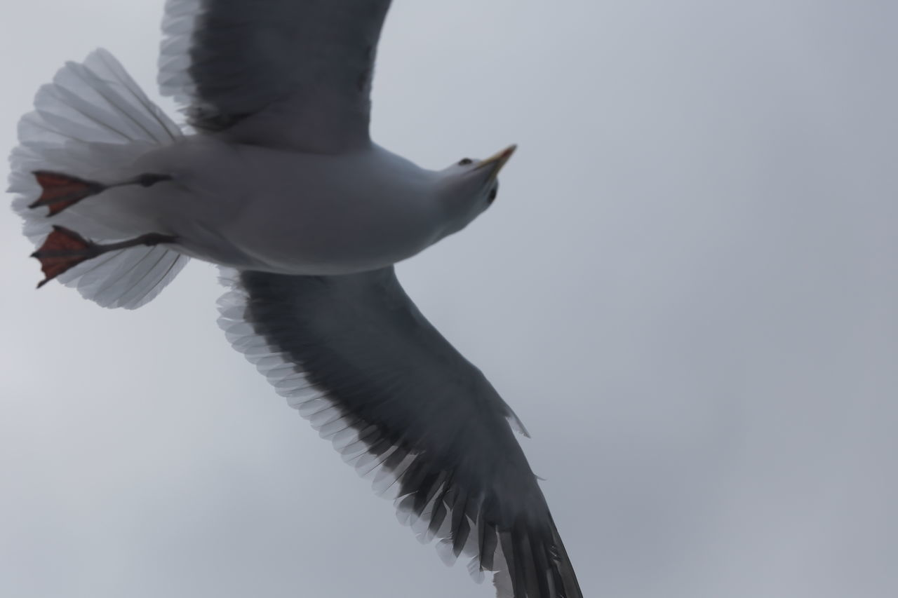 bird, spread wings, animals in the wild, animal themes, one animal, flying, low angle view, animal wildlife, outdoors, nature, day, mid-air, clear sky, no people, beauty in nature, sky, close-up