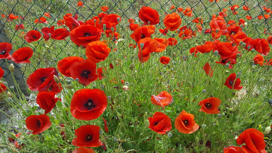 Red Full Frame No People Green Color Day Nature Backgrounds Growth Close-up Indoors  Freshness Flower Poppies  Poppy Flowers