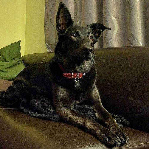Her name is Lucy. Dog Blackbelgianmalinois Black Dog