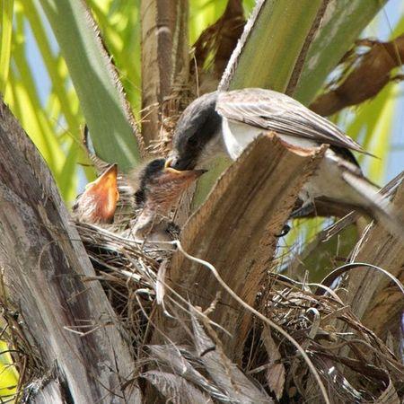 Una Ave dándole de Comer a sus Crías en la Palma frente a mi casa... A bird feeding their Little birds in front of My Home... Lovelly family familia animals animales fauna