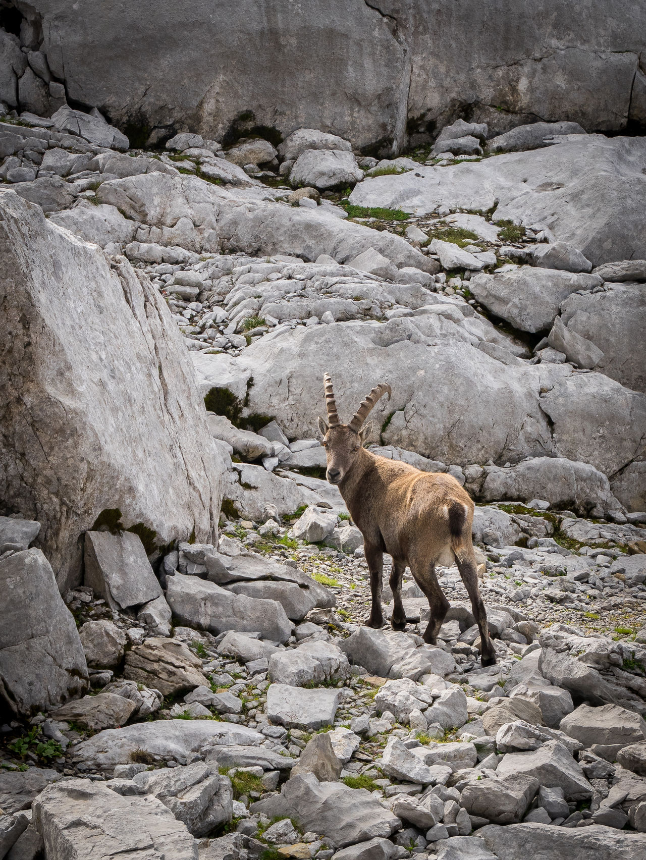 Animal Animal Themes Beauty In Nature Bouquetin Goat Moutain Ibex Goat Ibex On A Rock Rock - Object Rock Formation Stone Wild Goats
