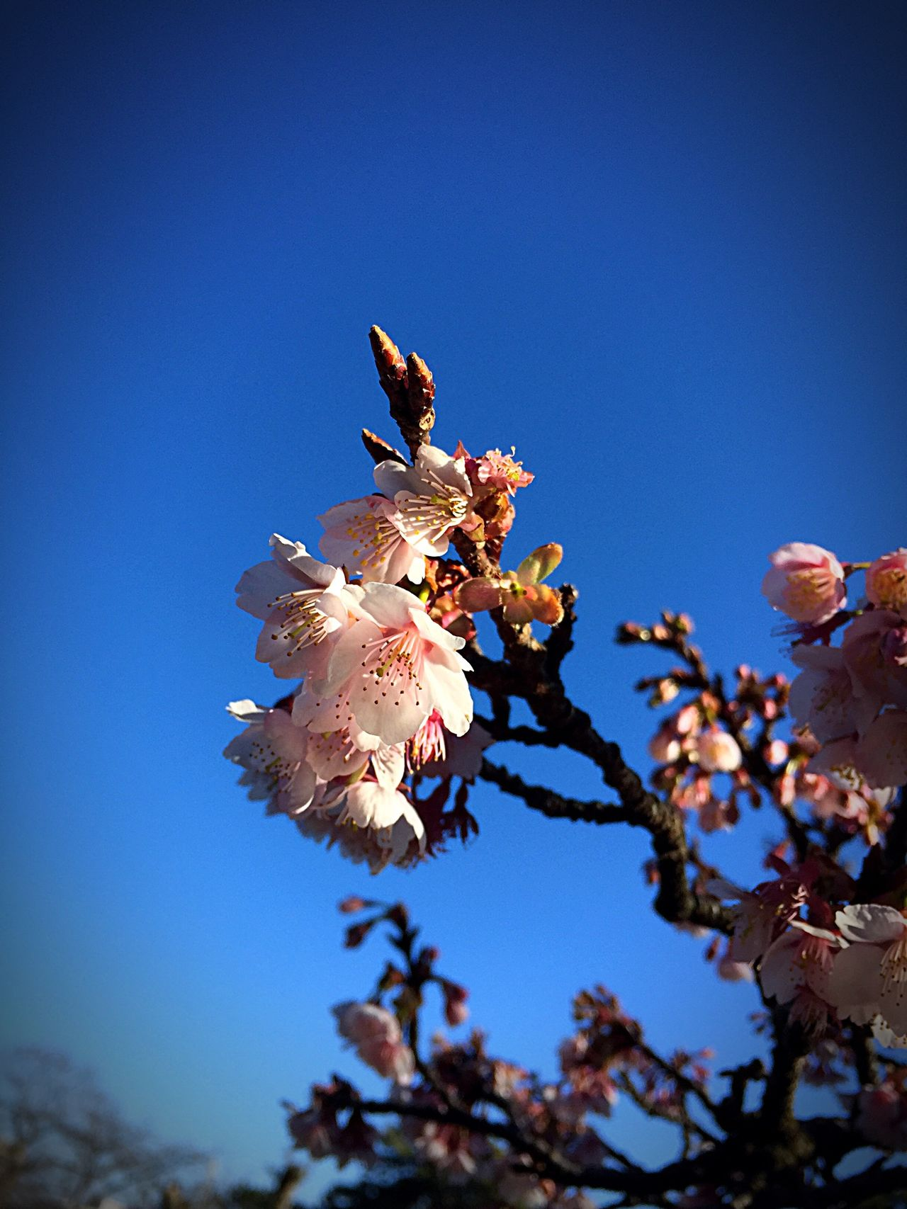 Beautiful stock photos of cherry, Beauty In Nature, Blooming, Blue, Branch