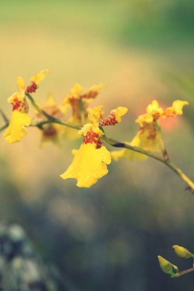 Dancing Lady Orchids Yellow Nature Flower Growth Fragility Beauty In Nature Close-up No People Blossom Outdoors Tree Freshness Day Manila Philippines