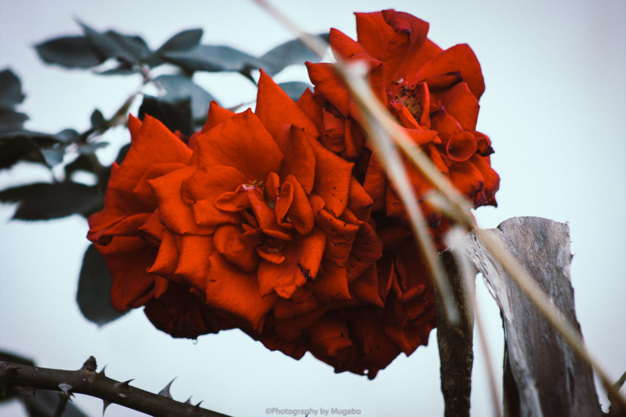 flower, beauty in nature, nature, fragility, petal, day, no people, freshness, growth, outdoors, low angle view, close-up, flower head, red, sky