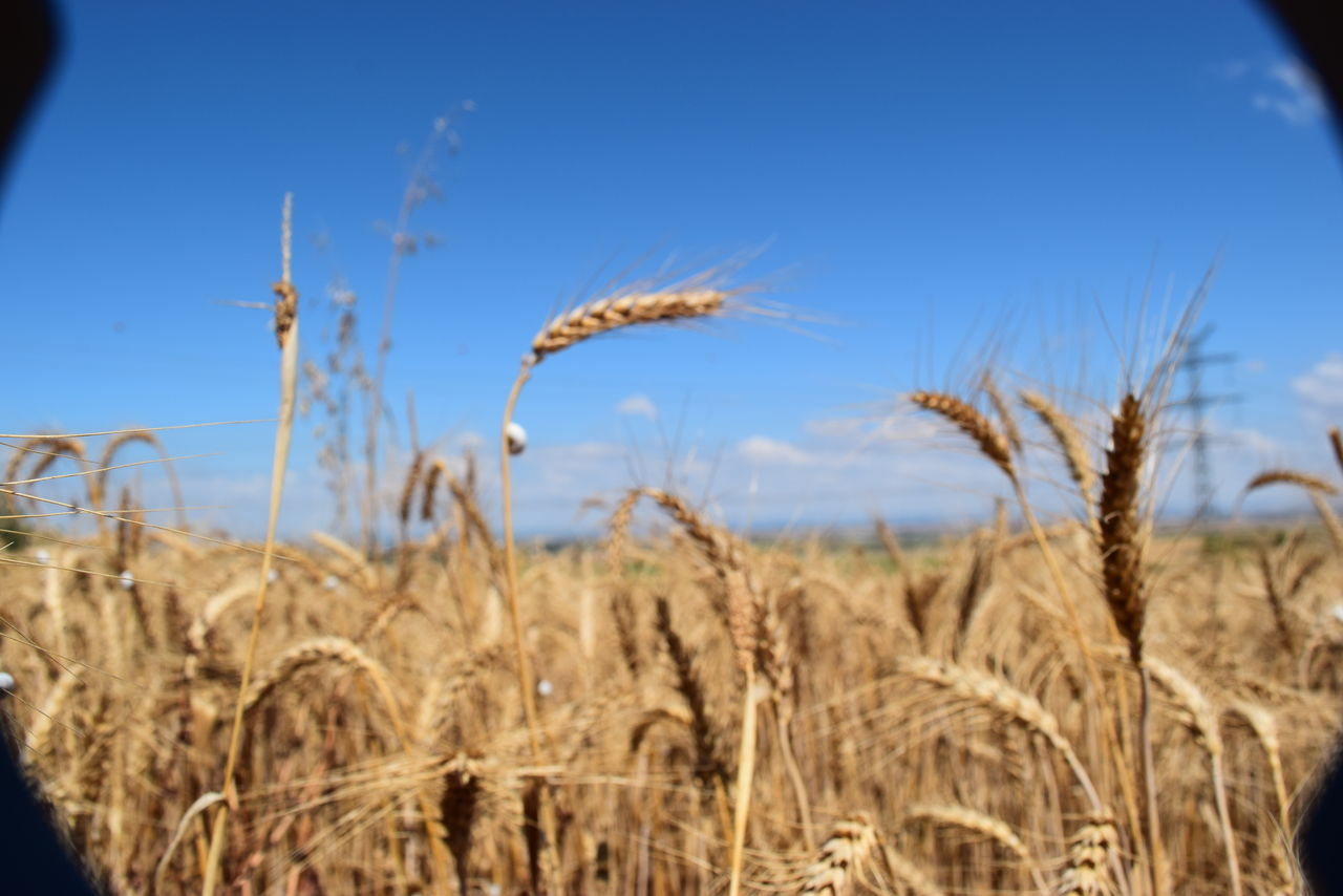 Agriculture Beauty In Nature Blue Cereal Plant Clear Sky Close-up Crop  Dry Ear Of Wheat Farm Field Growth Hot Weather Nature No People Outdoors Plant Rural Scene Sky Spring Summer Wheat Wheat Wheat Field Wholegrain
