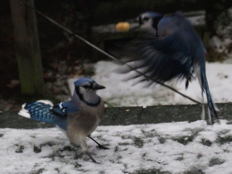 Bird Animal Themes Animals In The Wild Animal Wildlife No People Outdoors Nature Day Close-up Togetherness Birds Animals In The Wild Nature Beauty In Nature Blue Jay Bluejays