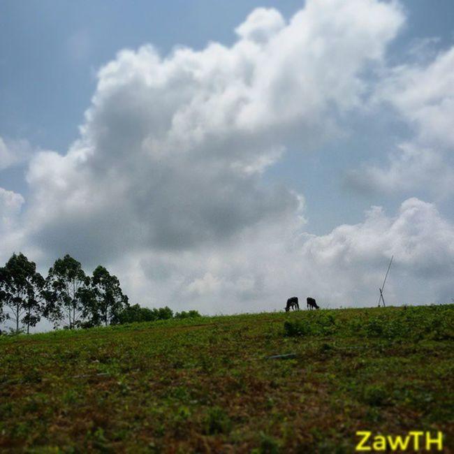 Two brothers... ႏြားညီေနာင္ (ပါရမီကုန္းေတာ္၊ ပါရမီေက်ာင္း၊ ၁၇ ရပ္ကြက္၊ ျပင္ဦးလြင္။ ) Igersmandalay Igersmyanmar Vscomyanmar Calf Cow Hill Clouds Sky_of_theworld Signatureshots Pyinoolwin 1001silhouette Bsn_nature Ptk_sky Stunning_shots_world Bsn_features Sky_talking Best_Silhouette Gorgerous Worldcaptures Ir_sky_sea Shareyourparadise Ig_daily_nature Nothingisordinary Aseanchannel Cool_sunshotz nature_oftheworld worldclasssky natureshot