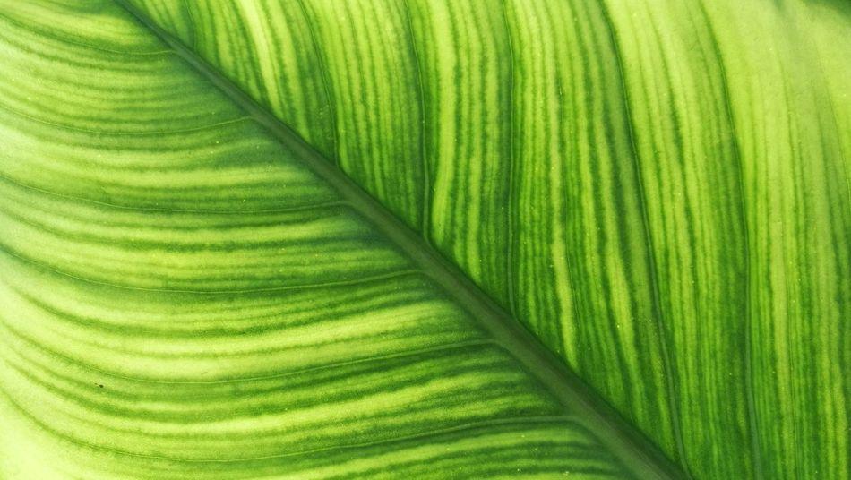 ใบไม้สีเขียว Green Color Outdoors Day Beauty In Nature No People Close-up Backgrounds Full Frame Freshness Nature Growth Fragility Leaf