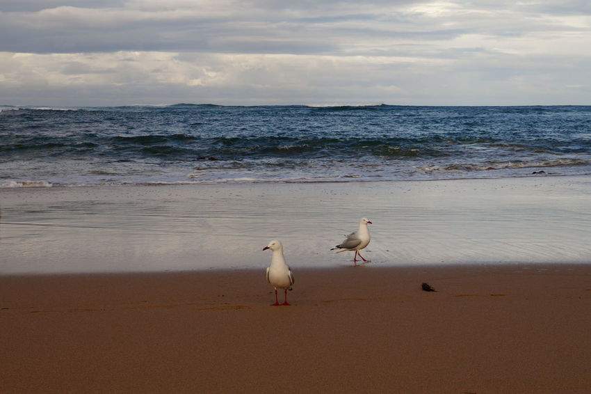 Australia EyeEm Nature Lover Animal Themes Animal Wildlife Animals In The Wild Beach Beauty In Nature Bird Cloud - Sky Day Horizon Over Water Nature No People Outdoors Pelican Perching Sand Scenics Sea Seagull Sky Sunset Tranquility Water Wave