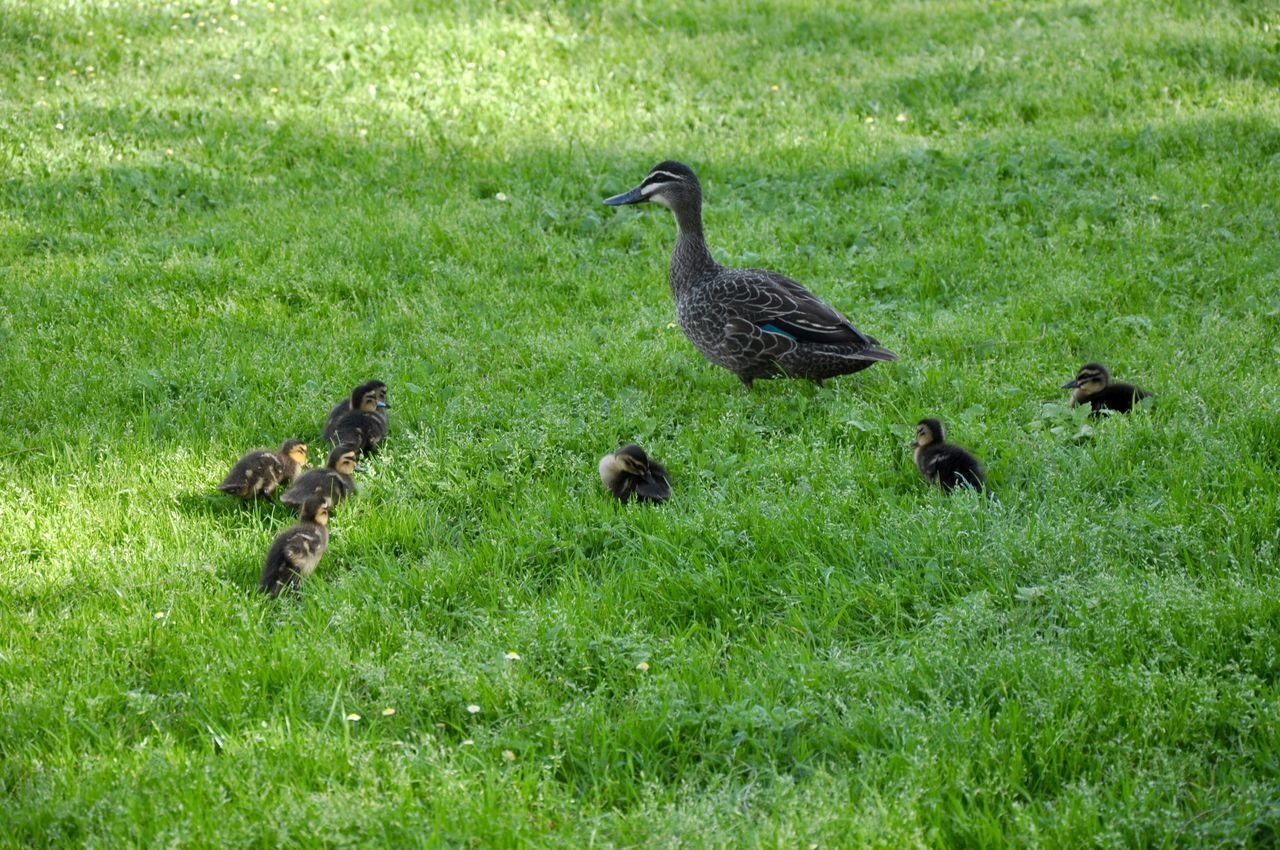 Family of Pacific Black Ducks with mother and her babies in green grass setting at Heirisson Island in Perth, Western Australia. Animal Family Animal Themes Animals Babies Baby Animals Birds Brown Caring Ducklings Ducks Family Field Grass Green Heirisson Island Mama Mother Motherhood Nature Nurturing Pacific Black Duck Togetherness Western Australia Wild Wildlife