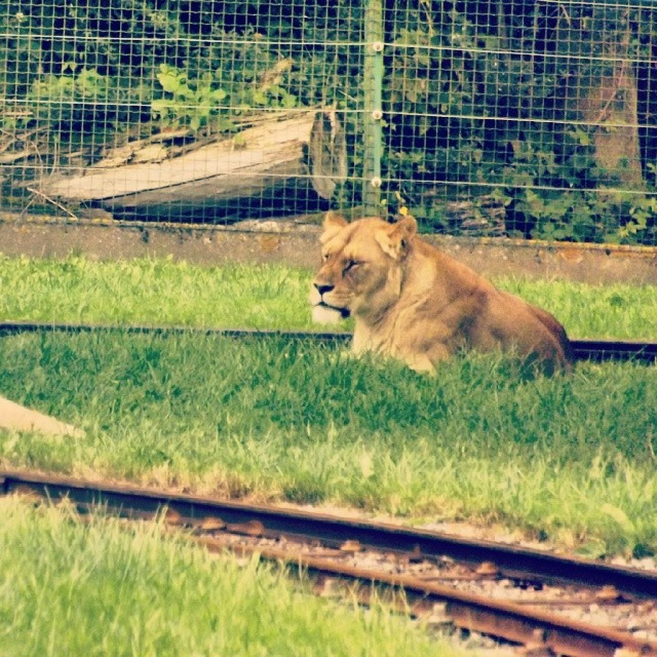 Lion Bellewardparc TKPhotography