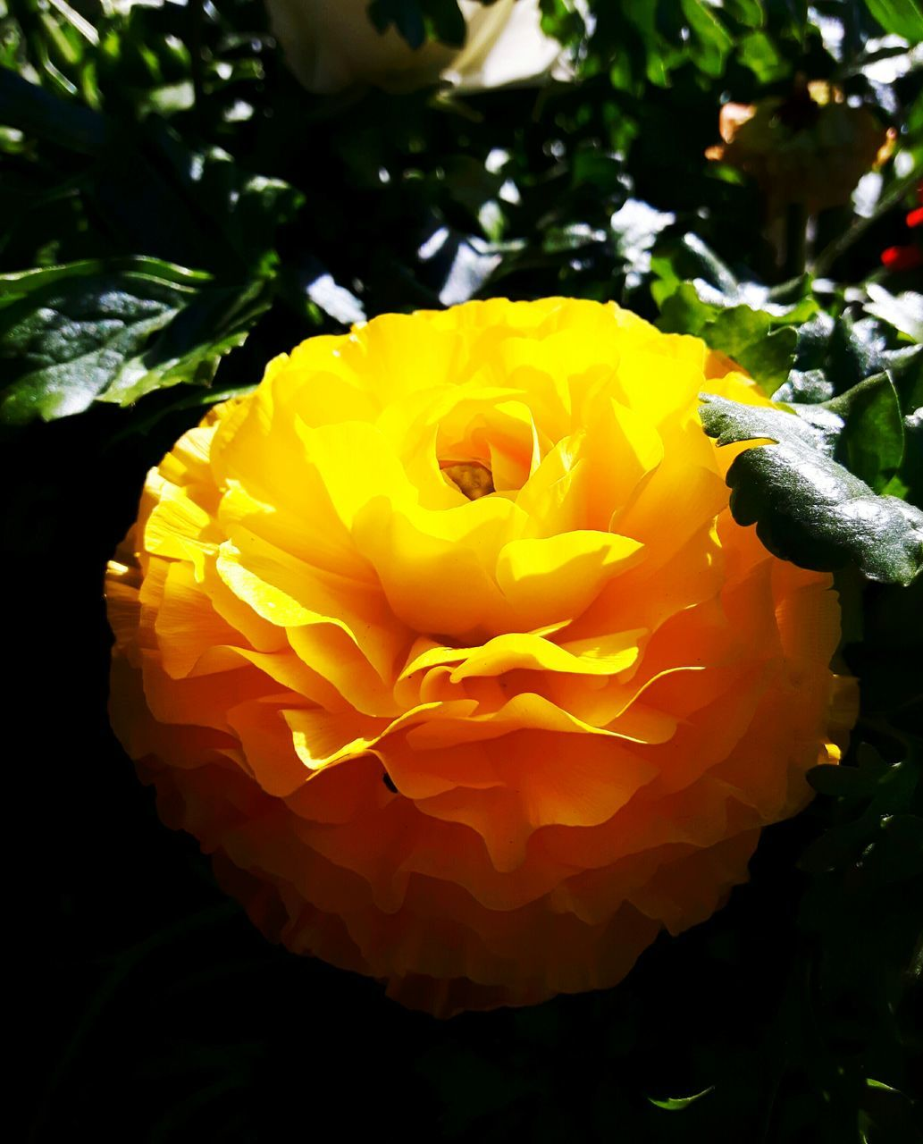 flower, petal, nature, beauty in nature, fragility, freshness, flower head, rose - flower, yellow, plant, no people, growth, close-up, blooming, outdoors, day