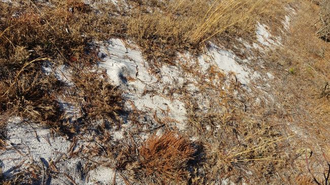 White Sand in the Pine Barren Pine Needles Early Winter DECEMBER2015 Golden Hues Of Autumn
