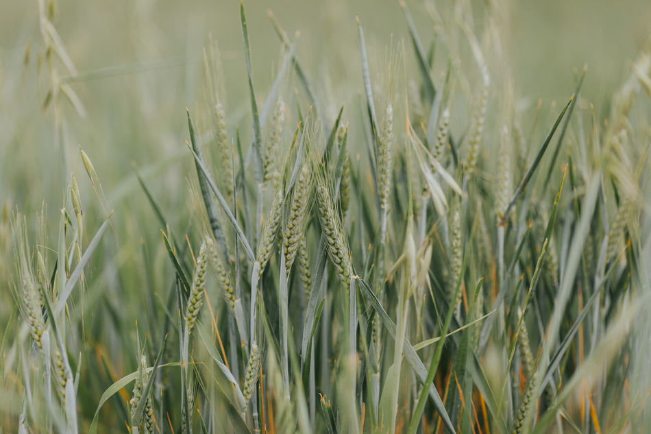 Agriculture Beauty In Nature Cereal Cereal Plant Close-up Crop  Day Ear Of Wheat Field Full Frame Grass Green Color Growth Nature No People Outdoors Plant Portugal Rural Scene Tranquility Wheat Wheat Wheat Field