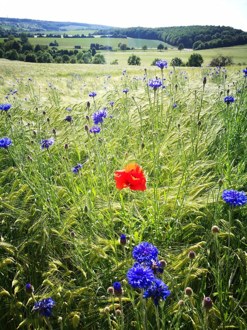 flower, growth, nature, field, poppy, beauty in nature, plant, grass, purple, landscape, tranquility, wildflower, meadow, uncultivated, no people, outdoors, day, fragility, freshness, blooming, rural scene, flower head