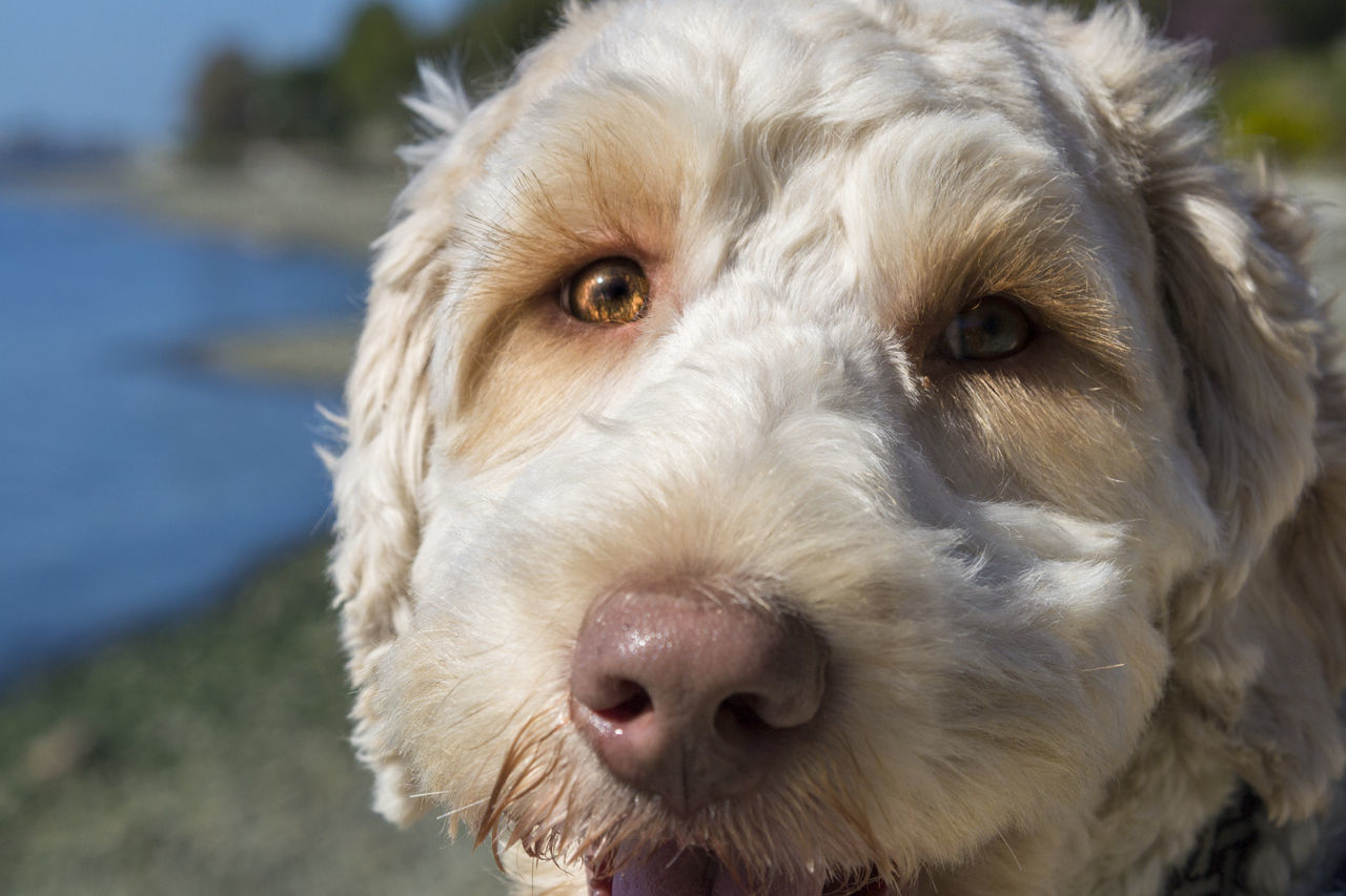 Close up portrait of golden doodle dog face at the park. Adoption Animal Hair Animal Head  Animal Themes Close-up Day Dog Domestic Animals Doodle Focus On Foreground Golden Looking At Camera Mammal No People One Animal Outdoors Pets Poodle Portrait Rescue