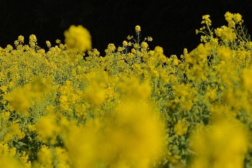 寒咲花菜、咲き誇る Yellow Growth Beauty In Nature Flower Mustard Plant Fragility Macro Outdoors Springtime
