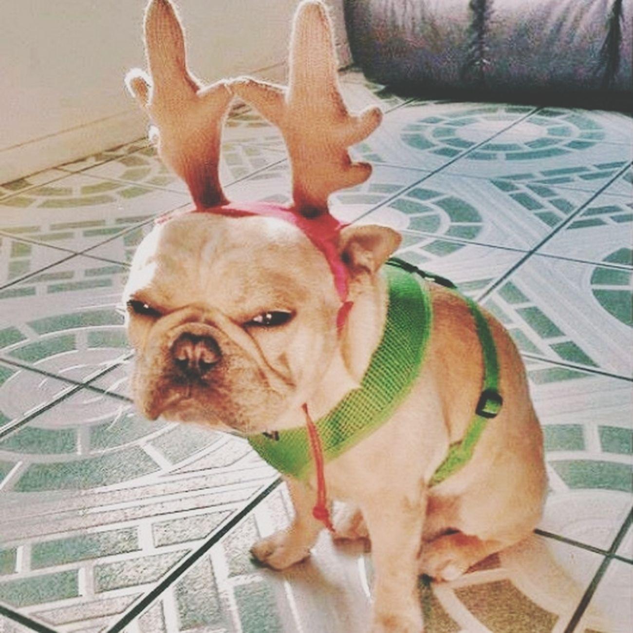 Dog Cute Natal Funny