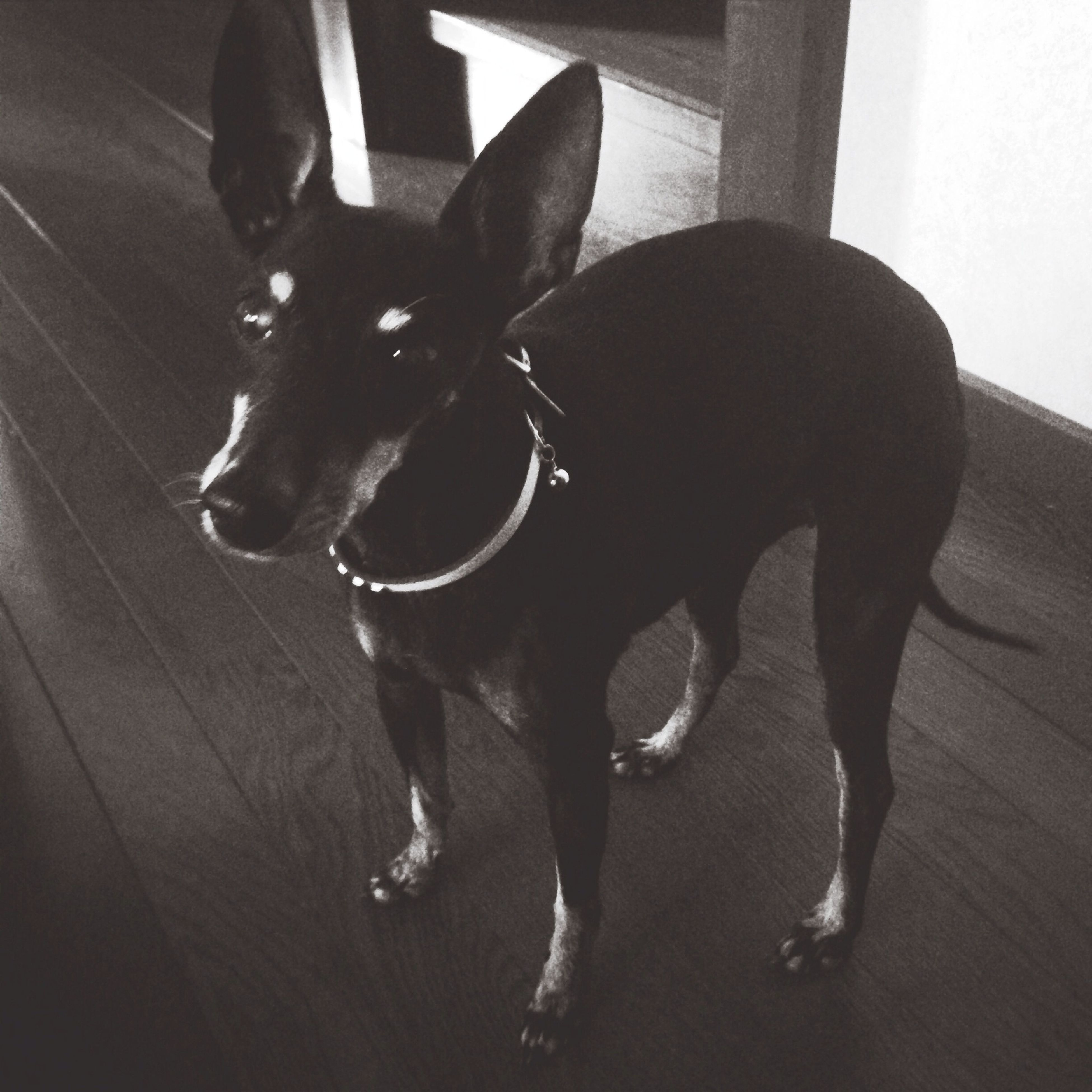 domestic animals, animal themes, pets, one animal, mammal, dog, indoors, black color, two animals, full length, pet collar, high angle view, zoology, shadow, young animal, togetherness, home interior, no people, day, sunlight