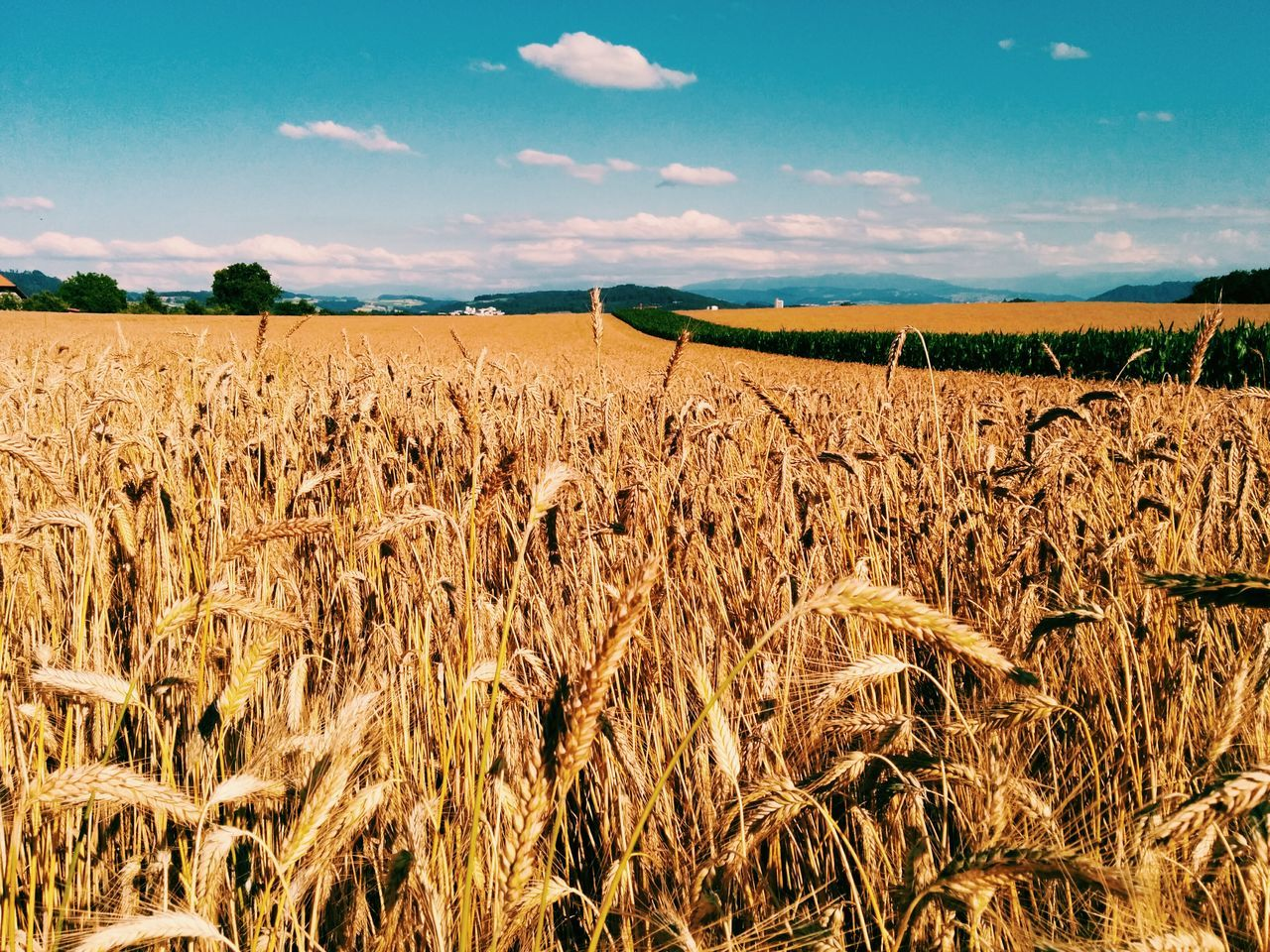 Beautiful stock photos of weather, Abundance, Agriculture, Barley, Beauty In Nature