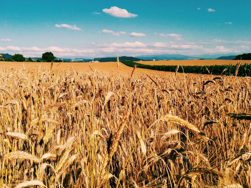 Beautiful stock photos of sunny, Abundance, Agriculture, Barley, Beauty In Nature