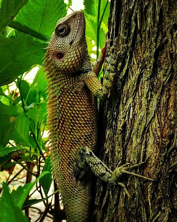Reptile Animal Wildlife Lizard Animals In The Wild Animal Themes Green Color Chameleon Outdoors No People Chameleon_collection Chameleon On A Tree Chameleon Eye