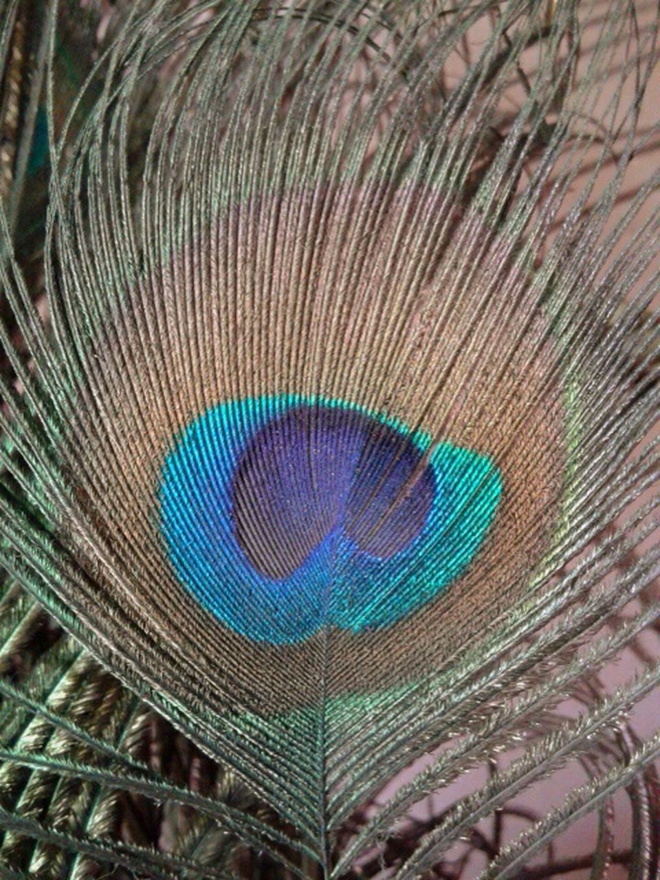 peacock feather, peacock, feather, bird, close-up, softness, fragility, beauty in nature, fanned out, nature, no people, multi colored, blue, lightweight, backgrounds, animal themes, full frame, one animal, beauty, vanity, outdoors, day