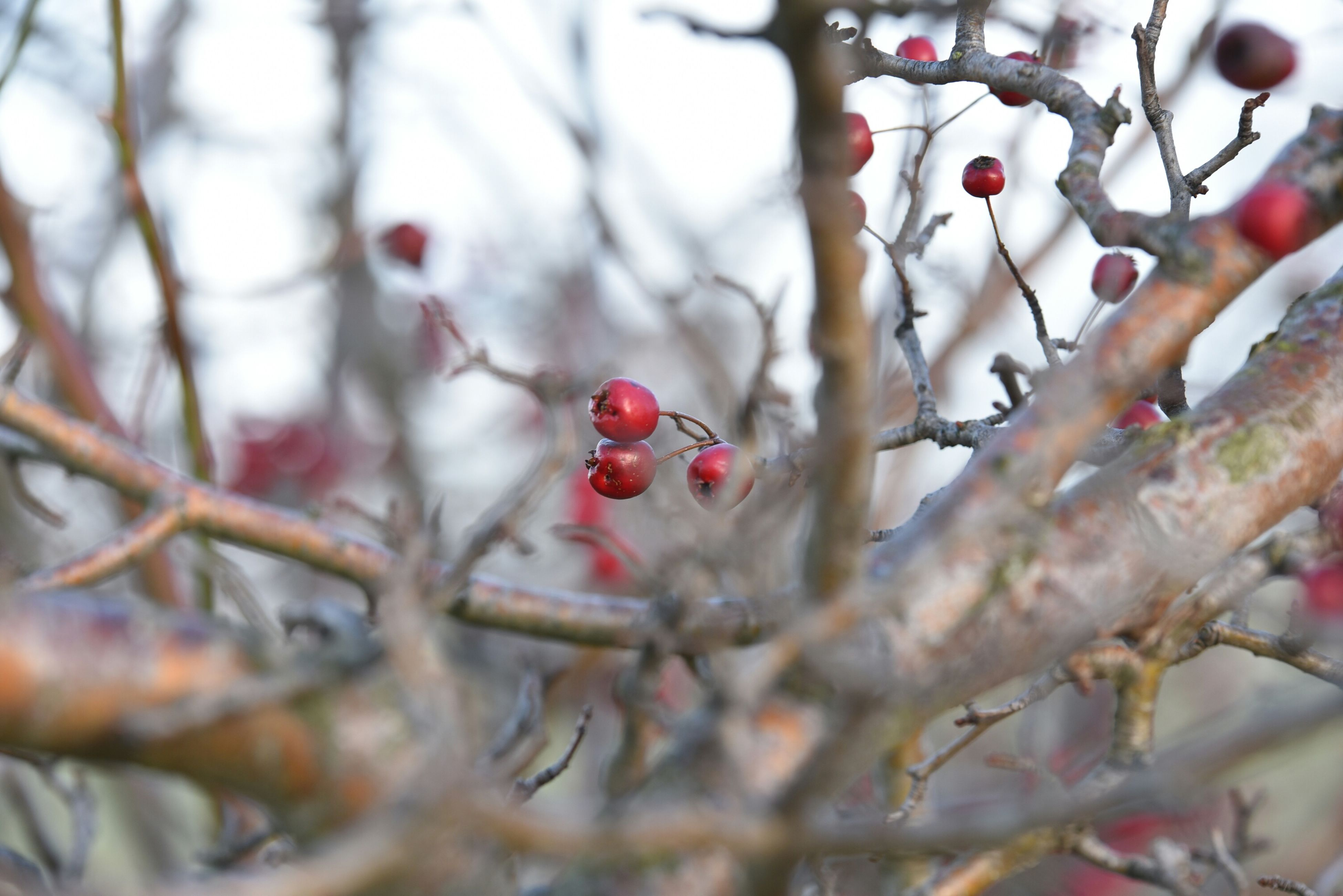 branch, fruit, red, focus on foreground, tree, close-up, berry fruit, twig, berry, nature, food and drink, growth, selective focus, freshness, food, cherry, day, outdoors, beauty in nature, hanging
