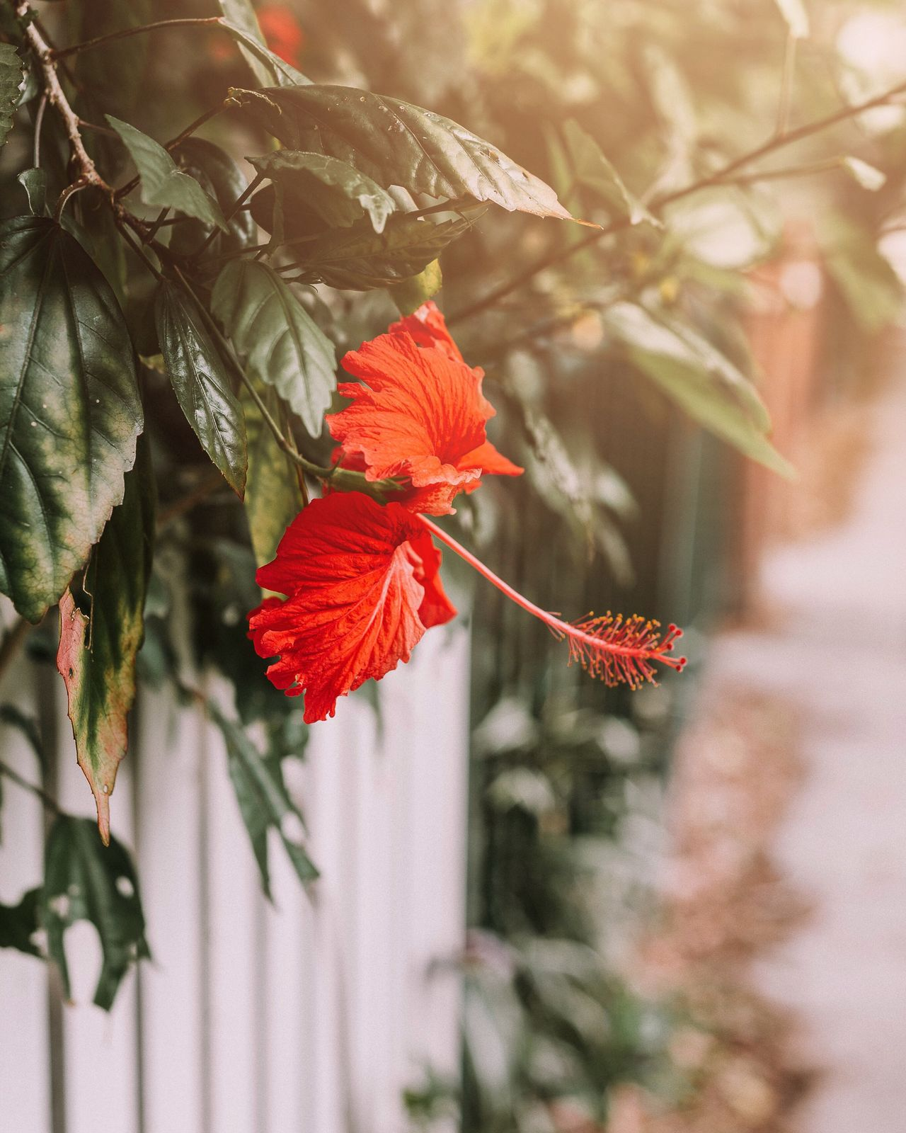 Flowers make you happy 🌺❤️ Beauty In Nature Red Plant Flower Focus On Foreground Outdoors No People Flowers Hibiscus City Life Urban Exploration Green City Flowers In The City Close-up Summer Holidays