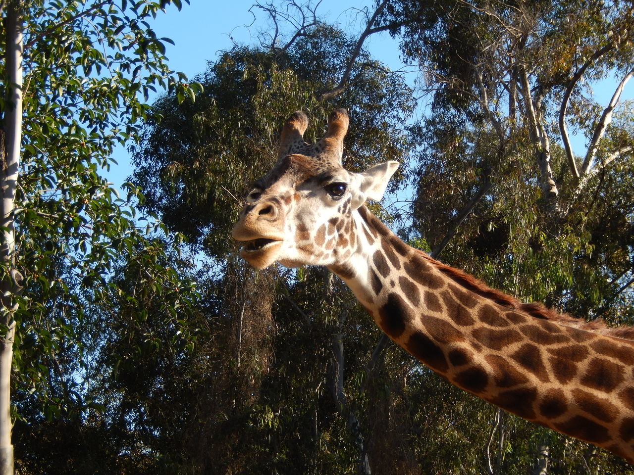 Beautiful stock photos of giraffe, Animal Themes, Animals In The Wild, Clear Sky, Day