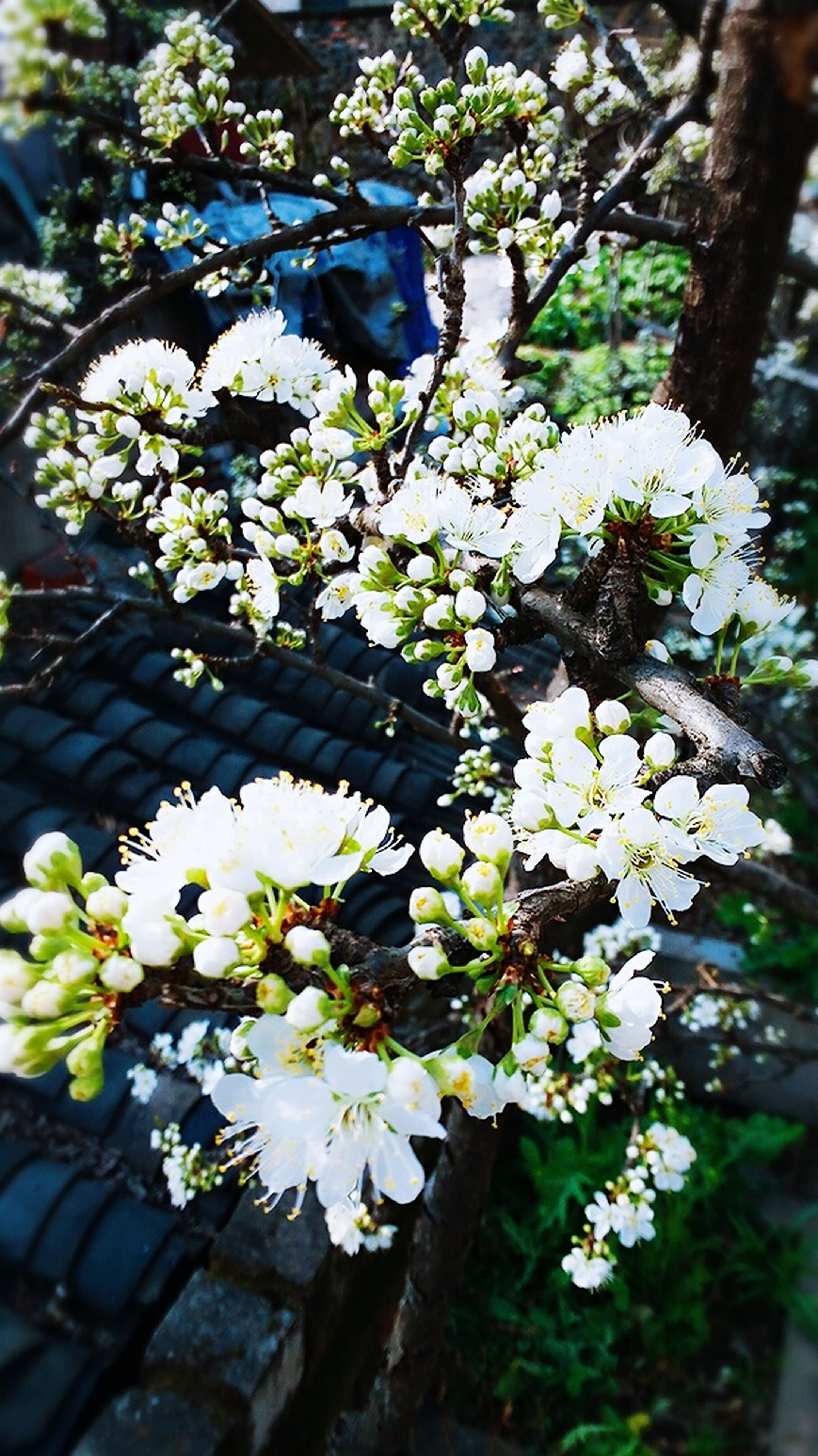 flower, freshness, growth, white color, fragility, petal, beauty in nature, tree, blooming, branch, nature, blossom, flower head, in bloom, focus on foreground, close-up, plant, leaf, cherry blossom, springtime
