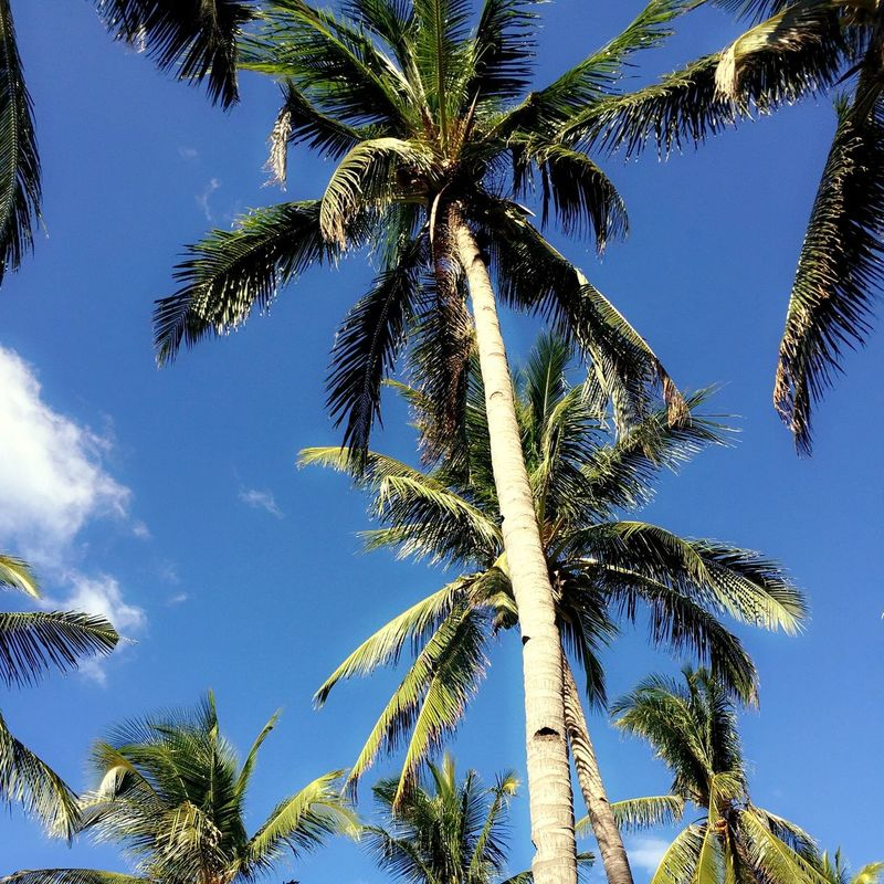 Coconut treee.. EyeemPhilippines Nature Welcome2016 Check This Out