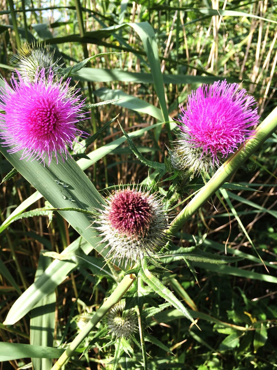 flower, purple, growth, fragility, nature, plant, flower head, freshness, beauty in nature, petal, thistle, no people, field, blooming, outdoors, day, close-up, eastern purple coneflower