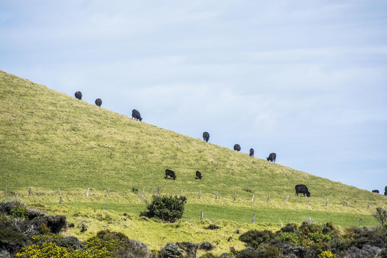Cows Grazing Grass Grassy Green Color Hiking Hill Landscape Nature Outdoors Remote Scenics Solitude