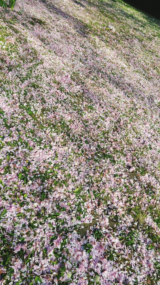 End Of Blossoms Pink Blossoms Fallen Blossoms Fallen Petals Blossoms Galore Pinkflowers High Angle View Full Frame Grass Area Circle Of Nature Fallen Flowers