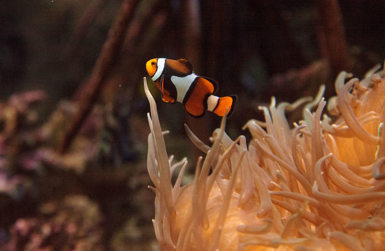 Clownfish, Amphiprioninae, in a marine fish and reef aquarium, staying close to its host anemone Amphiprioninae Anemone Anemone Fish Animal Themes Close-up Clownfish Coral Reef Fish Marinefish Marinelife Nature No People Ocean Reef Sea Underwater Wildlife