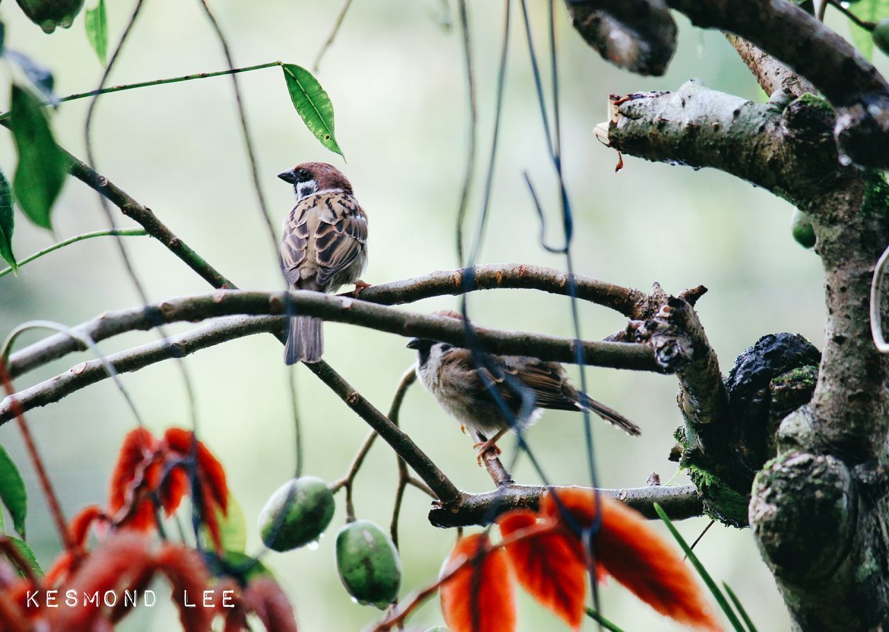 tree, perching, bird, animals in the wild, branch, day, animal wildlife, nature, animal themes, outdoors, fruit, no people, beauty in nature, food, close-up