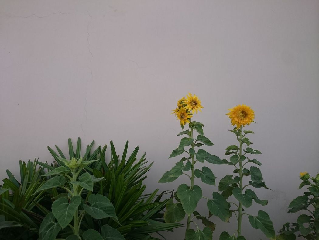 Sunflowers, some of them having flowered, and some yet to flower, looking beautiful as part of a outdoor decoration just outside the wall of a building. Flower Flowering Plants Flowers Growing Sunflower Growing Sunflowers Many Plants Multiple Plants Sunflower Sunflower Plant Sunflowers Yellow Flowers