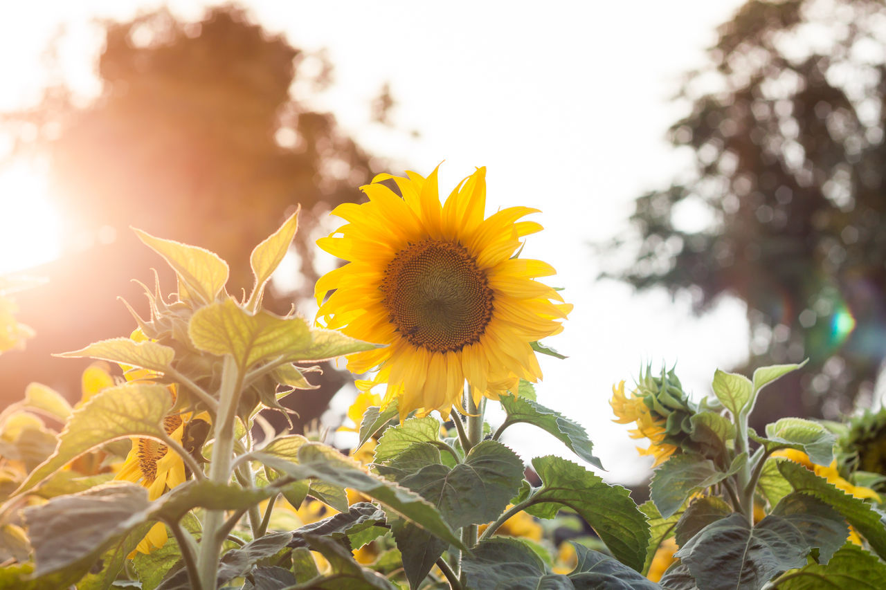 flower, yellow, growth, nature, fragility, freshness, beauty in nature, plant, petal, outdoors, field, flower head, day, no people, close-up, blooming, sunflower, leaf, sky