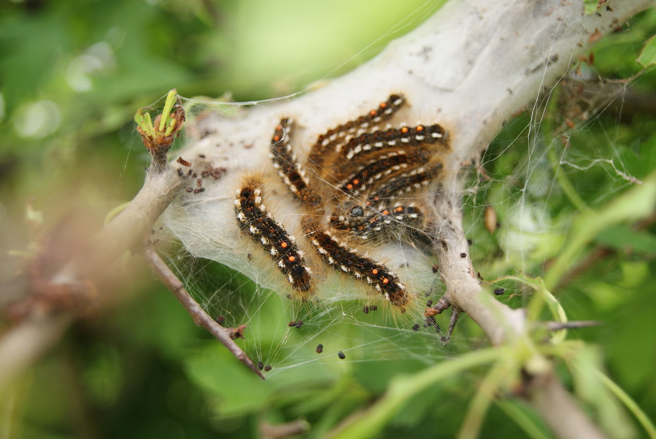 Animal Themes Animal Wildlife Animals In The Wild Catepillars On The Tree Caterpillar Caterpillar Close-up Caterpillars Nest Close-up Day Green Color Growth Insect Nature No People One Animal Outdoors Plant Rups Rupsen Rupsennest Woerden