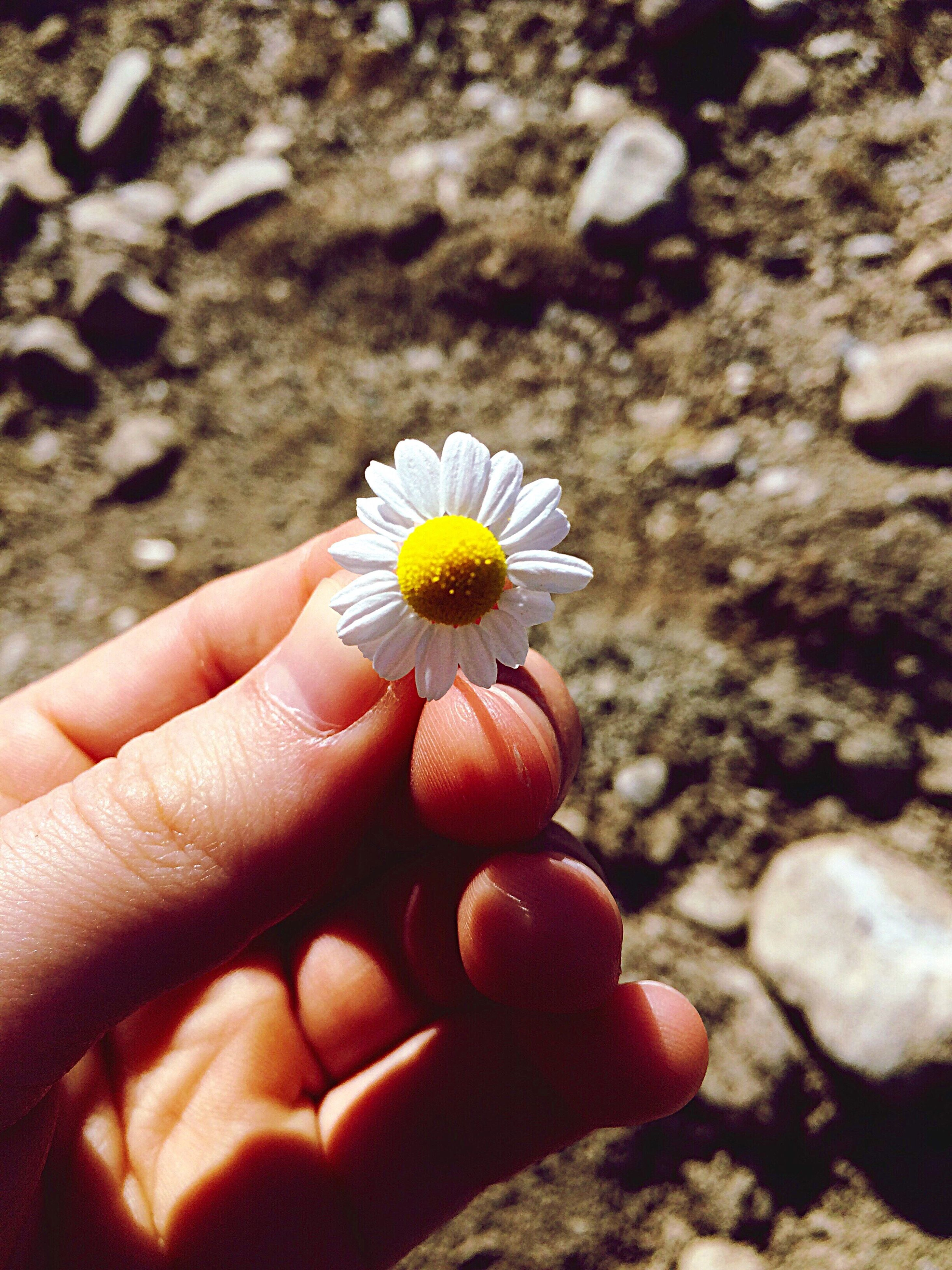 person, holding, part of, human finger, flower, personal perspective, unrecognizable person, cropped, focus on foreground, fragility, close-up, single flower, petal, freshness, flower head, beach, nature